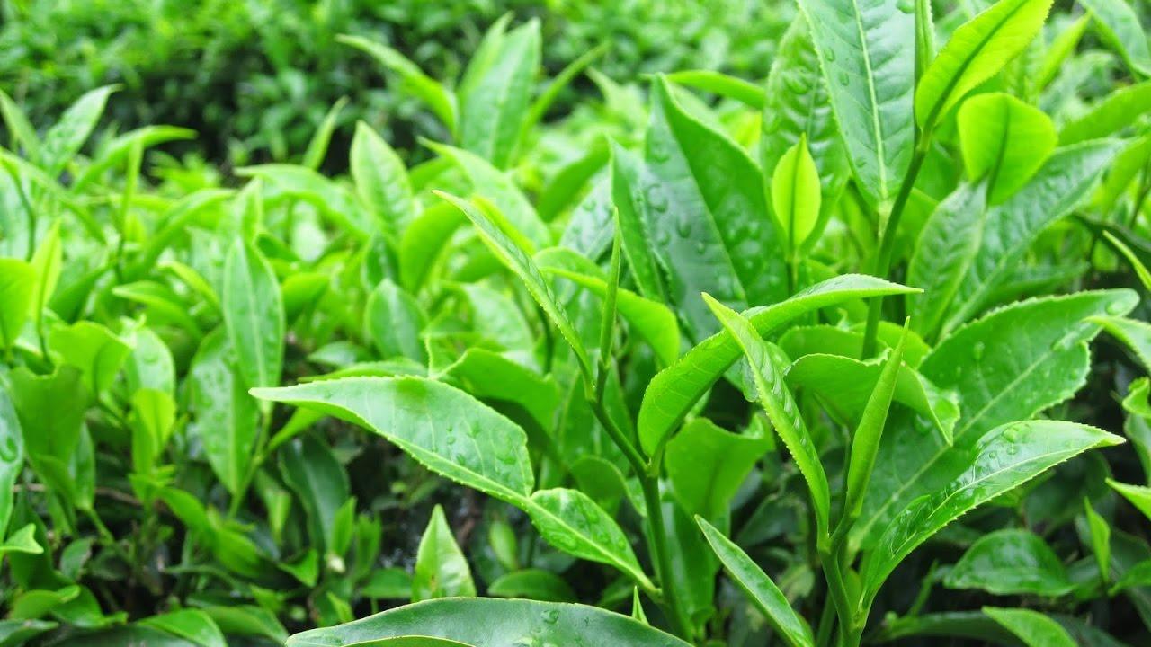 Tắm lá chè xanh có nhiều công dụng tốt trong chăm sóc và chữa bệnh ngoài da
