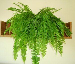 Tắm lá cây dương xỉ có tác dụng điều trị bệnh gì không?